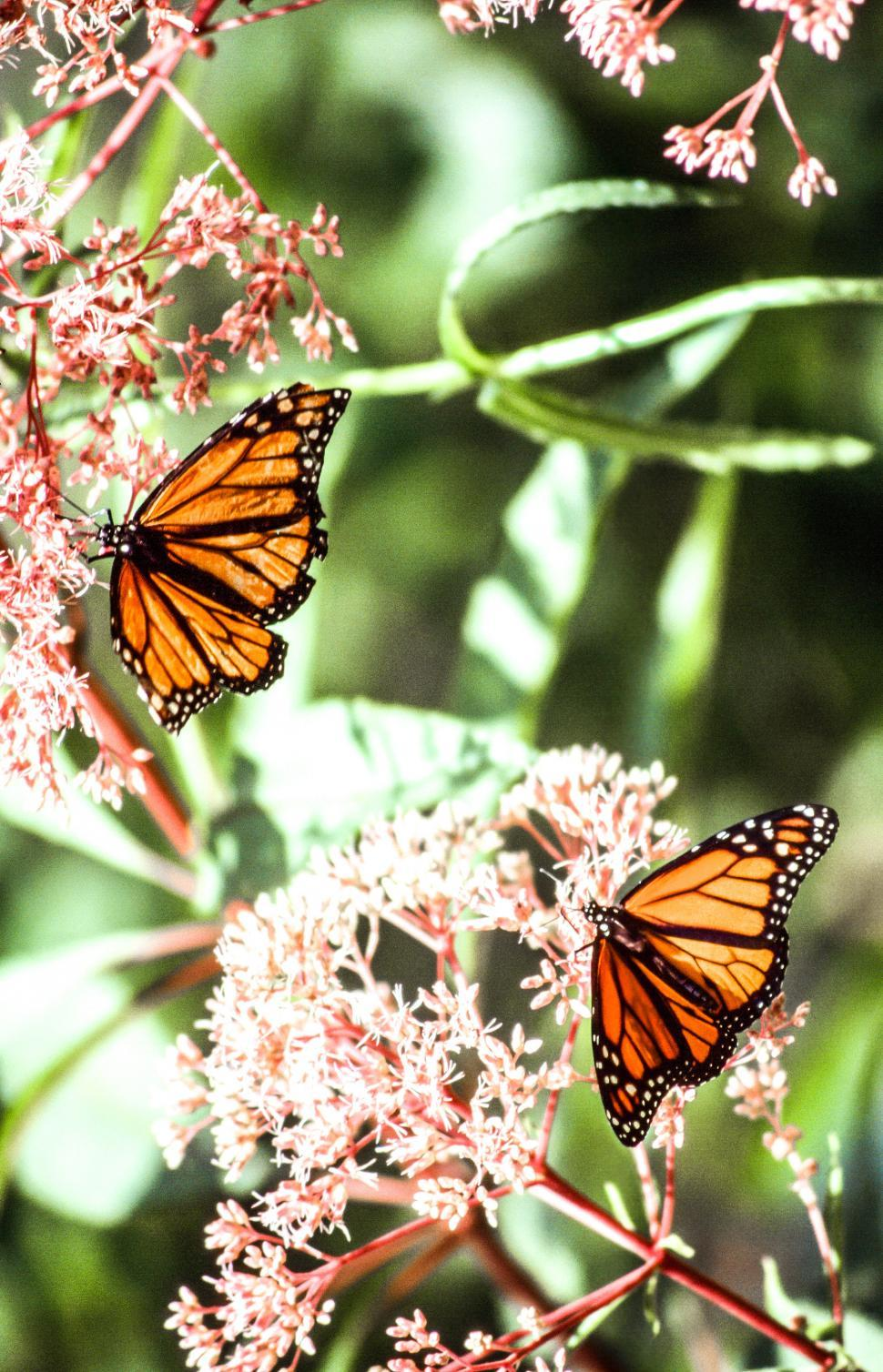 Download Free Stock HD Photo of Monarch Butterflies Online