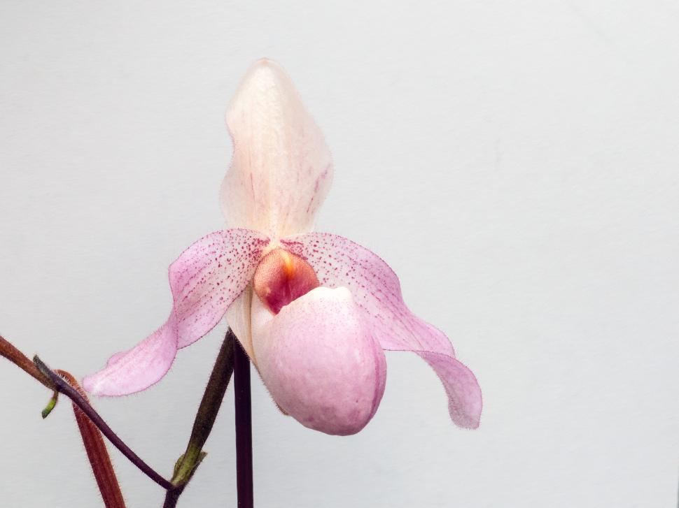 A single pink lady slipper orchid flower against a white background.