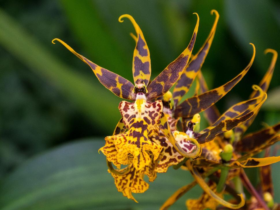 Download Free Stock HD Photo of Orange and Brown Spider Orchid Flowers  Online