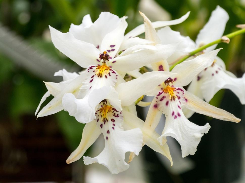 Download Free Stock HD Photo of White Spider Orchid Flowers Online