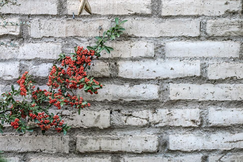 Free image of Background with adobe wall and pyracantha berries