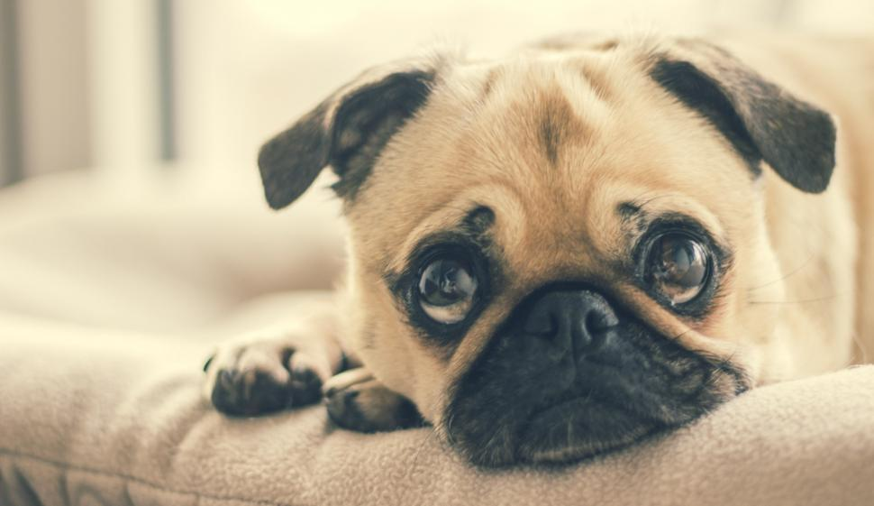 Download Free Stock HD Photo of Pug In Dog Bed Online