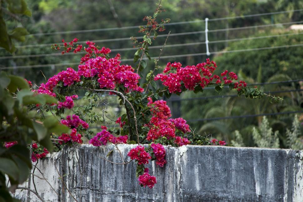 Download Free Stock HD Photo of Bougainville Online