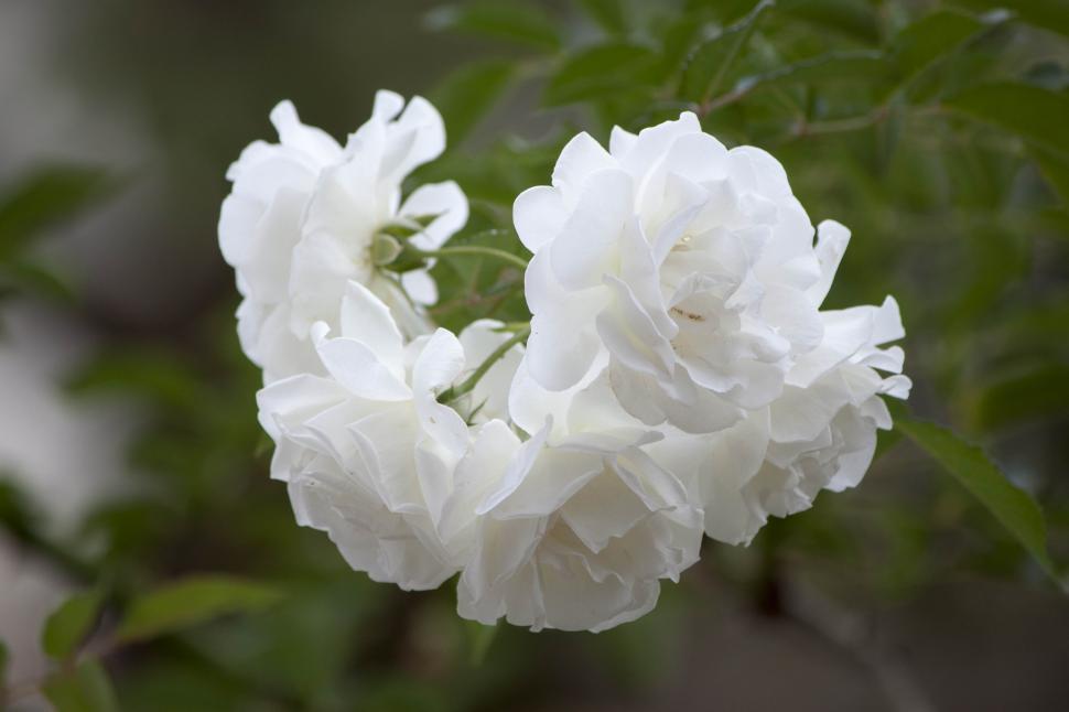 Get free stock photos of white petal flower online download latest white petal flower mightylinksfo