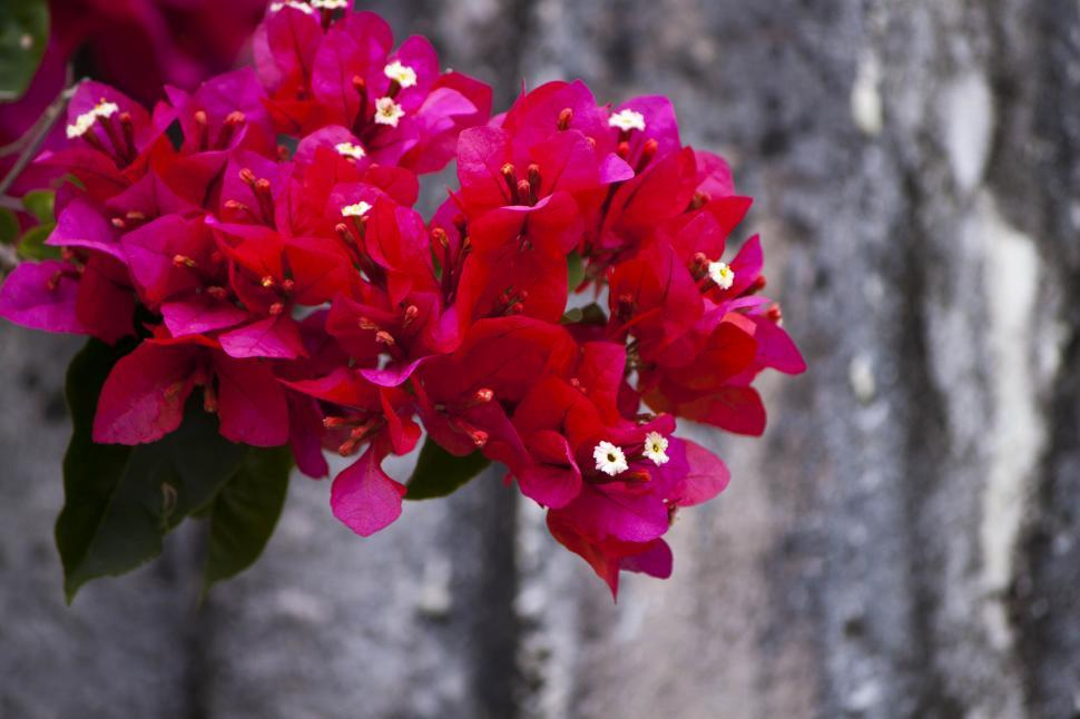 Download Free Stock HD Photo of Pink Bougainville Online