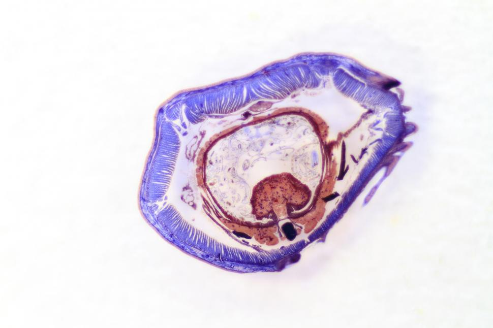 Download Free Stock HD Photo of Earthworm cross section Online