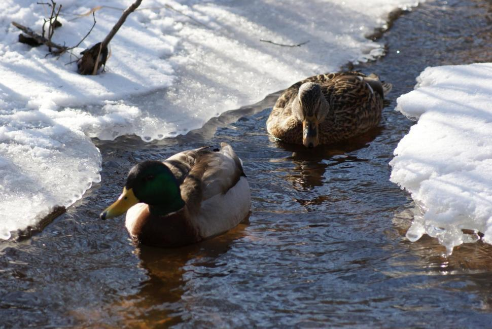 get free stock photos of ducks online download latest