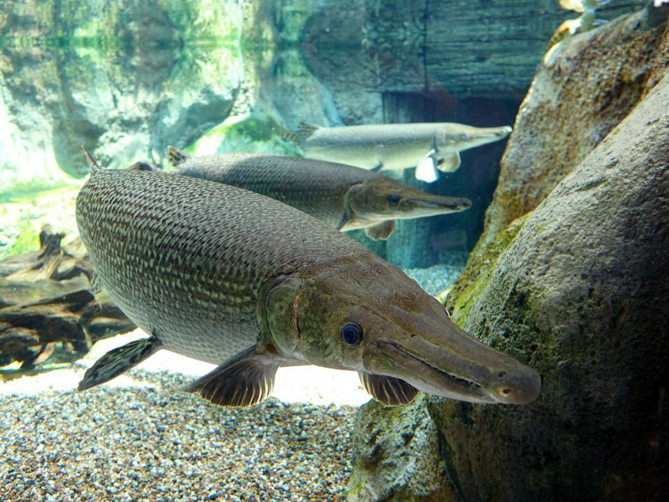Download Free Stock HD Photo of Alligator Fish Online