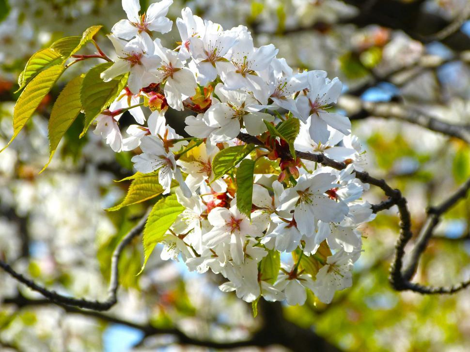 Download Free Stock HD Photo of White Sakura Flowers Online