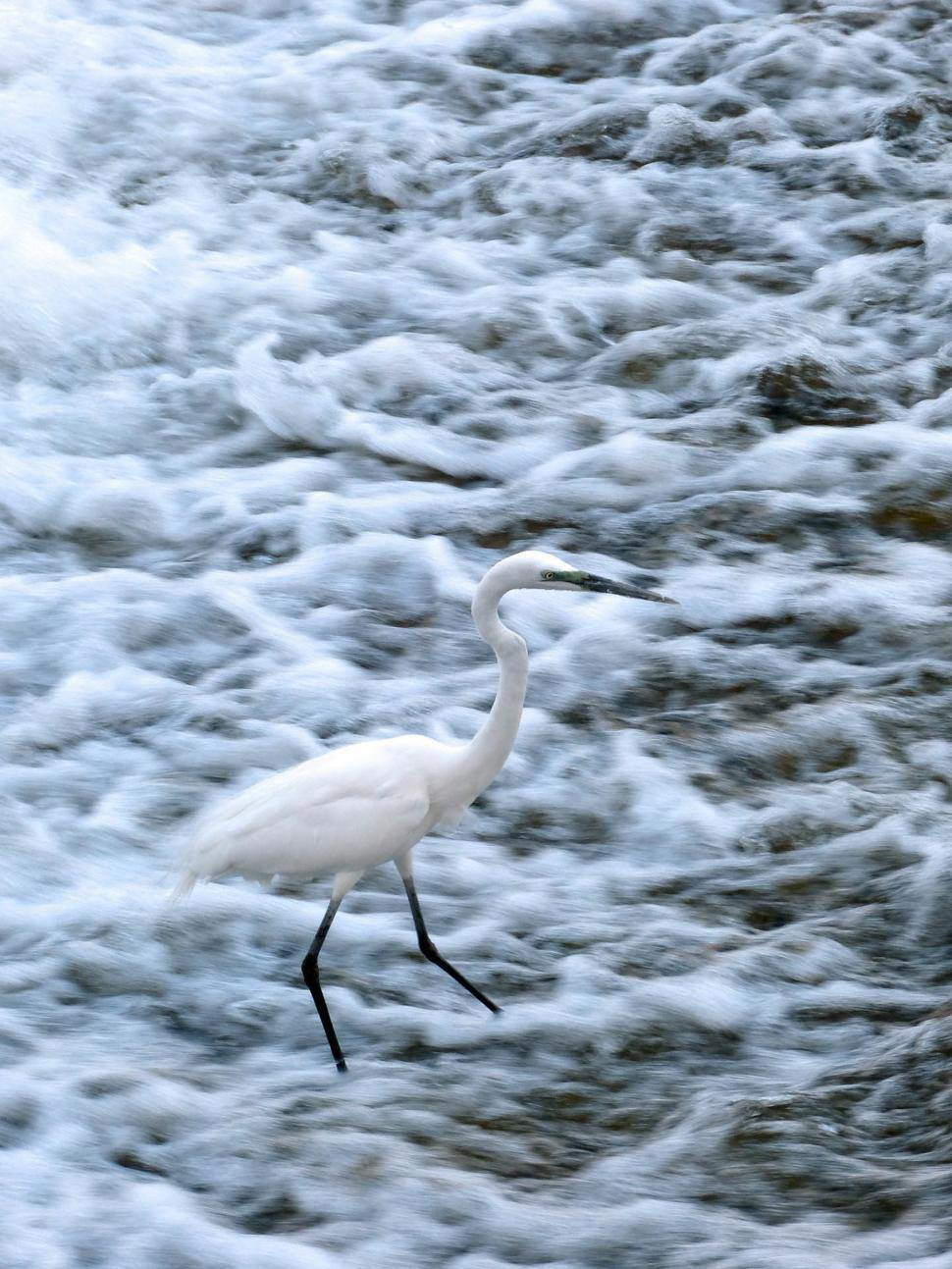 Download Free Stock HD Photo of Snowy Egret in water Online