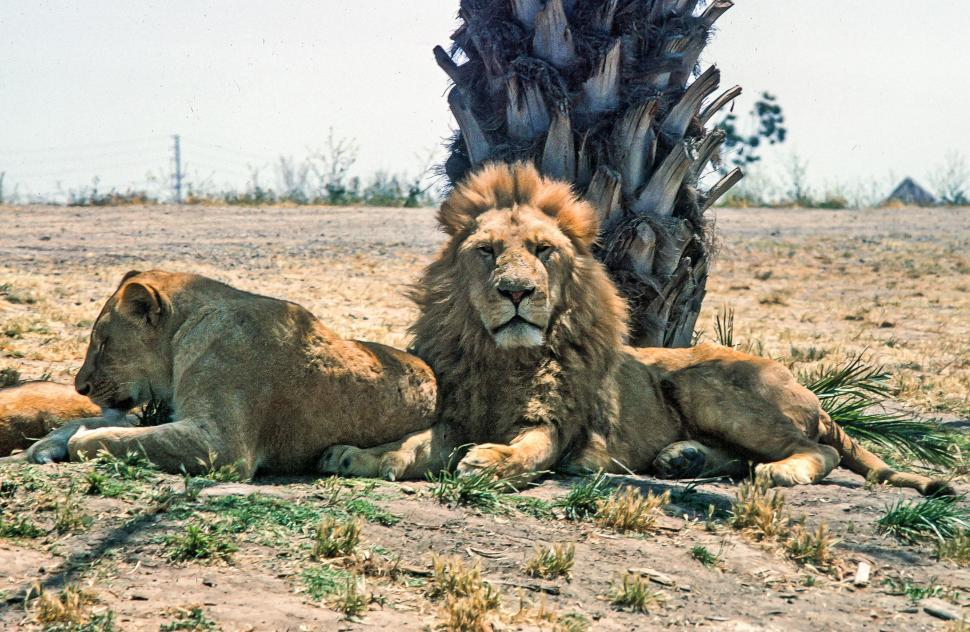 Download Free Stock HD Photo of Lion and Lioness Online