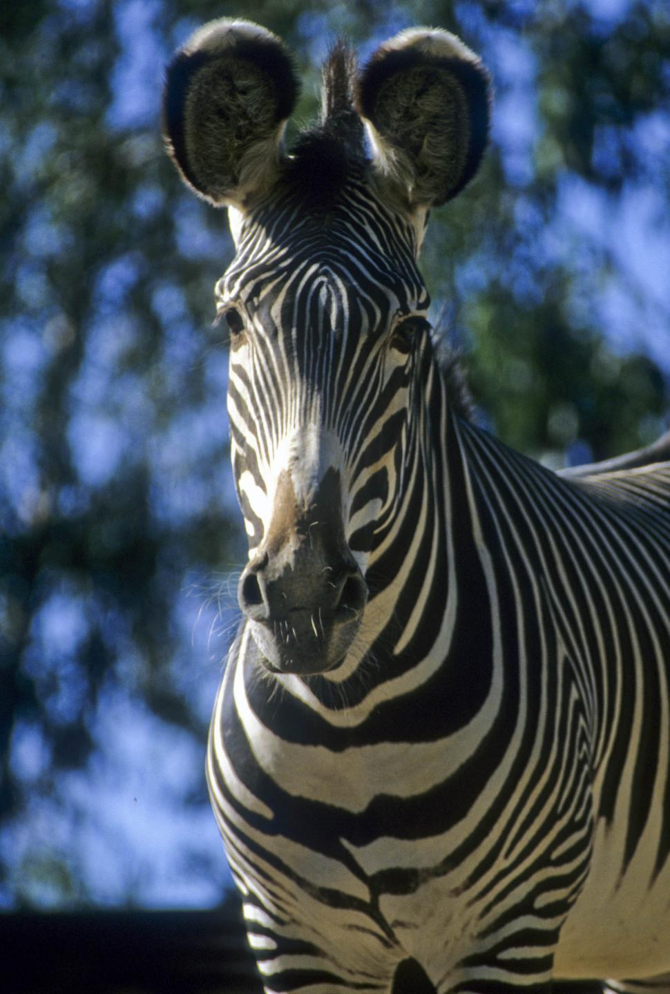Download Free Stock HD Photo of curious zebra Online