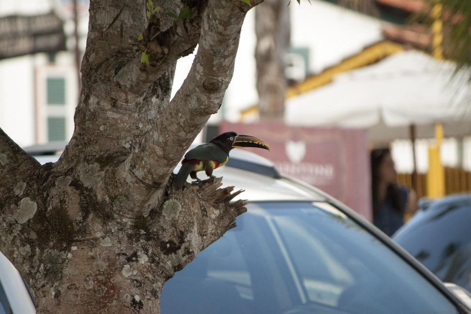 Download Free Stock HD Photo of Australian Toucan Online