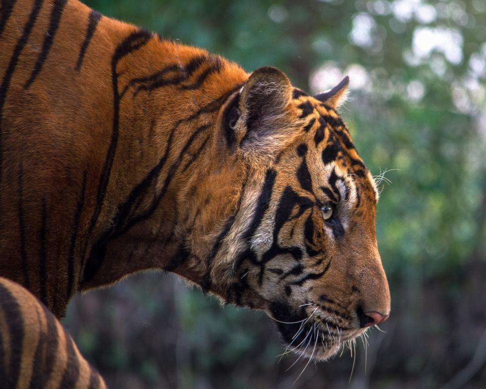 Download Free Stock HD Photo of Bengal Tiger Closeup Online