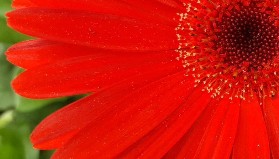 Download Free Stock HD Photo of Orange Daisy Flower Closeup Online