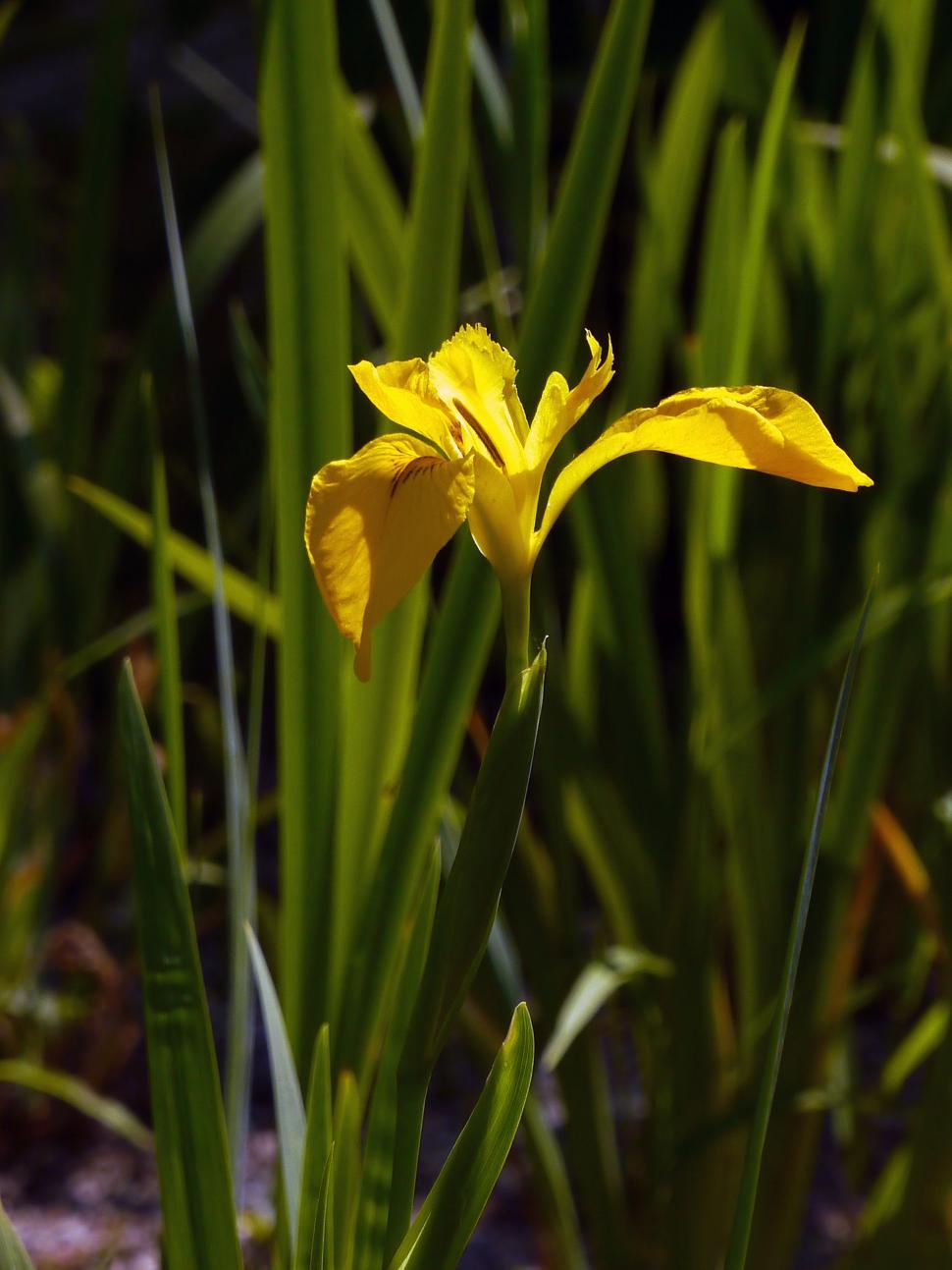 Get free stock photo of yellow iris online download latest yellow iris izmirmasajfo Images