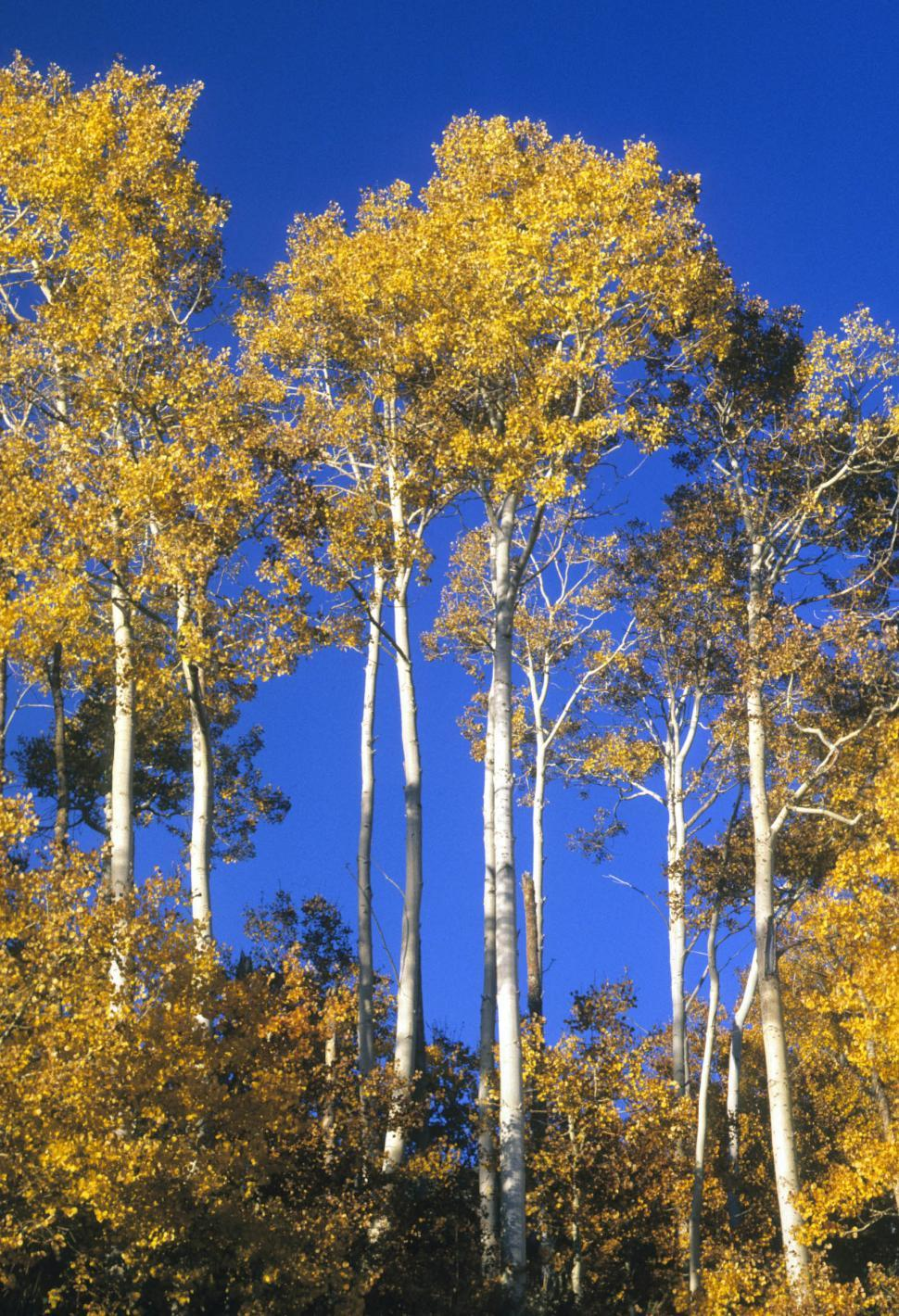 Download Free Stock HD Photo of aspen forest Online