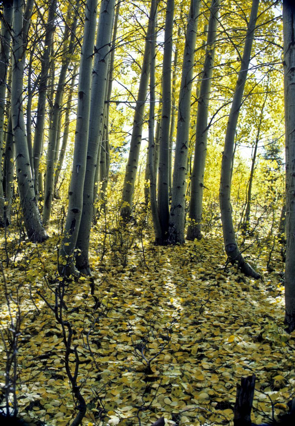 Download Free Stock HD Photo of aspen forest with fallen leaves Online