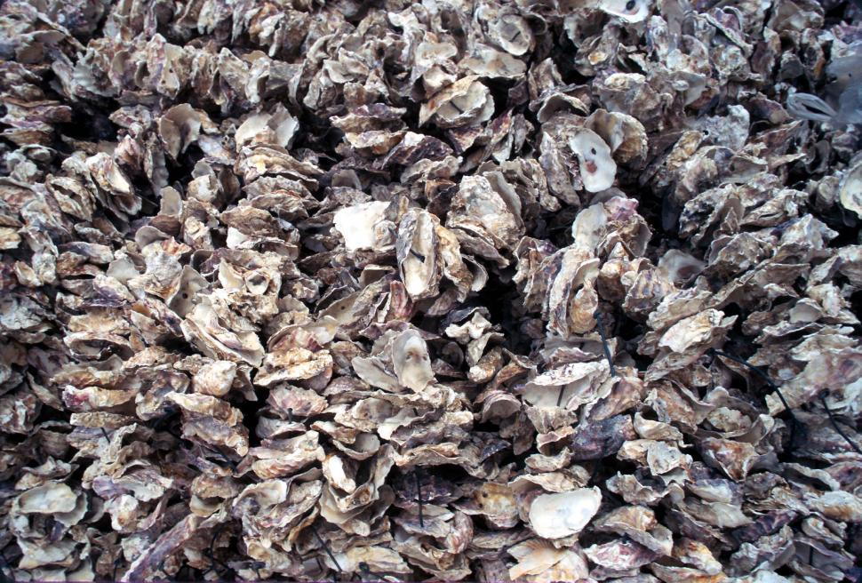 Download Free Stock HD Photo of Oyster shells background Online