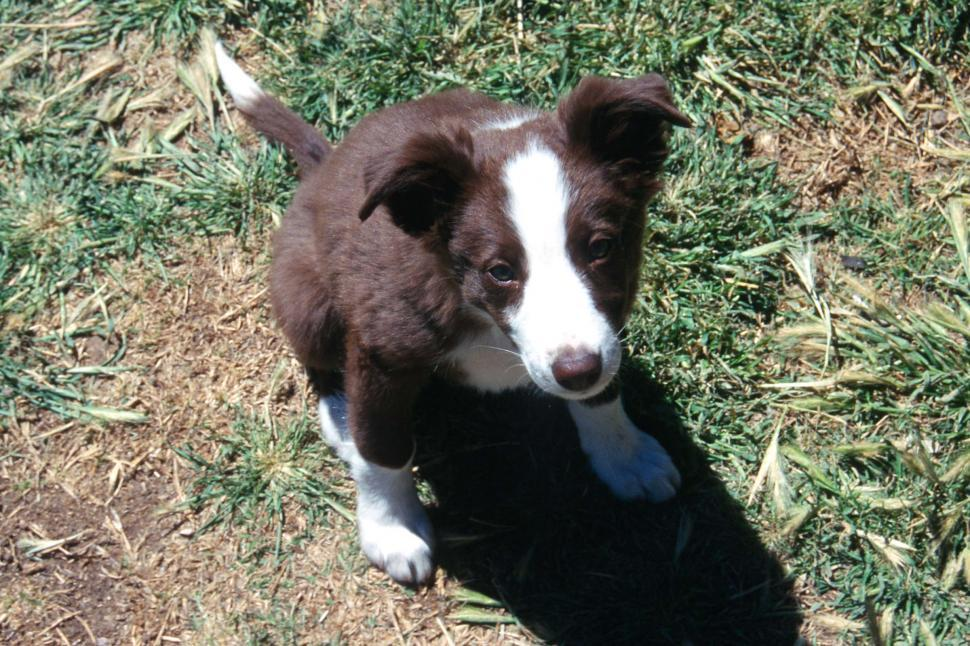 Download Free Stock HD Photo of Border collie puppy Online