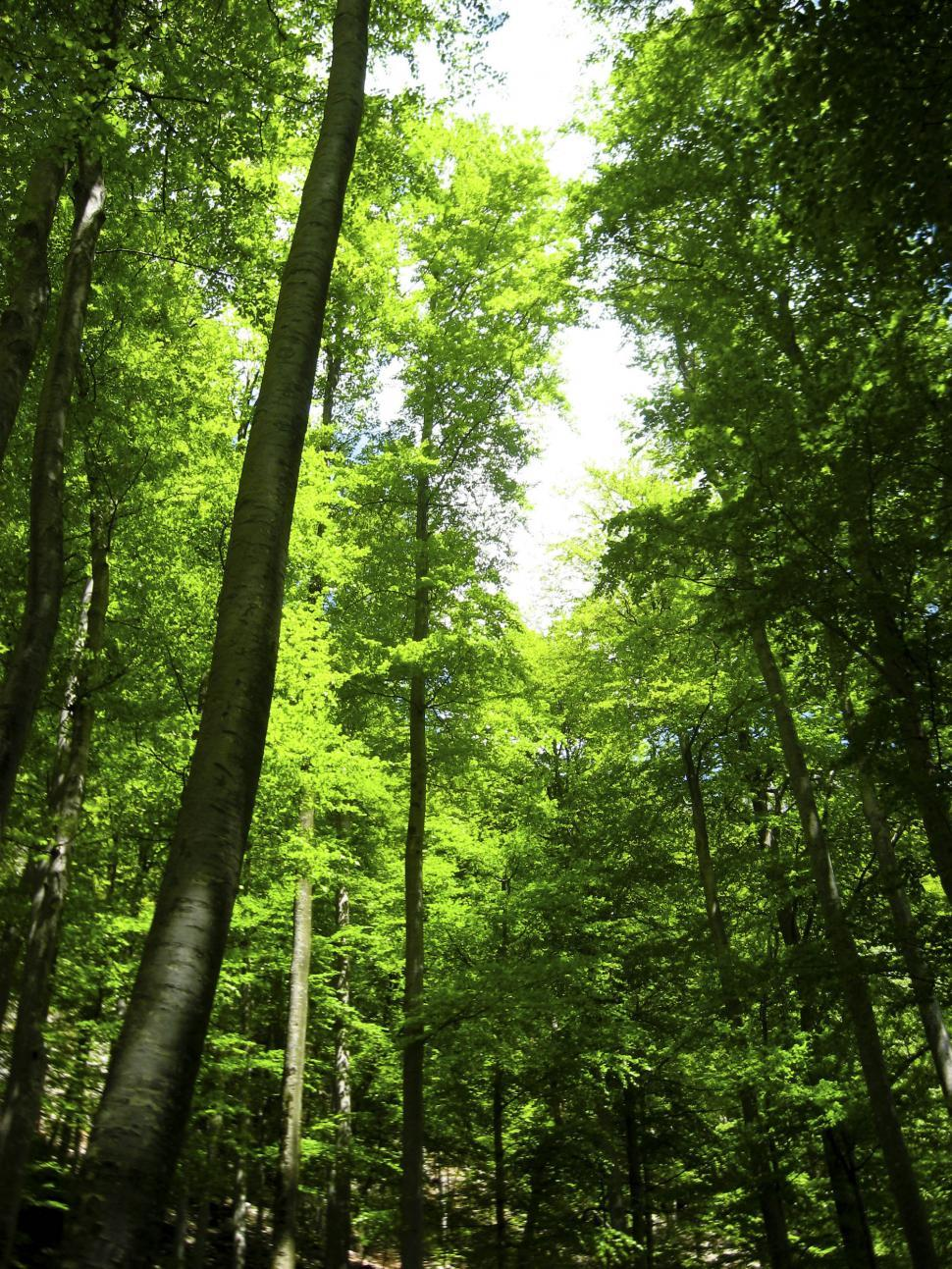 Free image of Tall trees form the canopy of a lush green forest