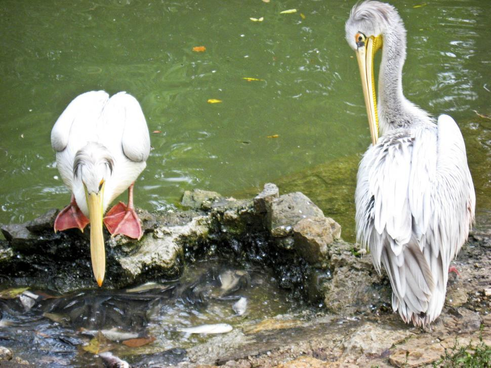Download Free Stock HD Photo of pelicans Online