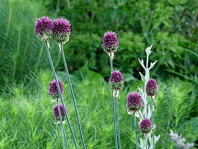 Find free tall purple flowers images stock photos and illustration allium flowers in green field mightylinksfo