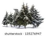 trees spruce isolated on white...