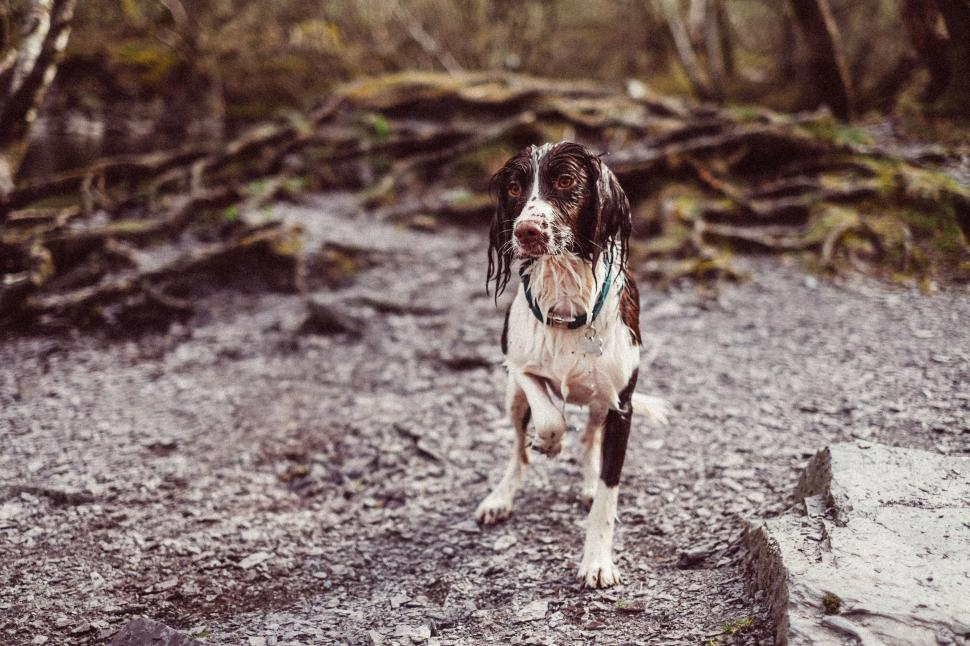 Download Free Stock Photo of german short-haired pointer pointer sporting dog hunting dog dog brittany spaniel spaniel