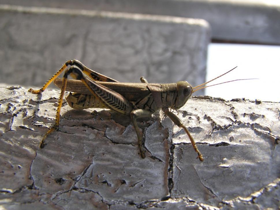 Download Free Stock Photo of grasshopper