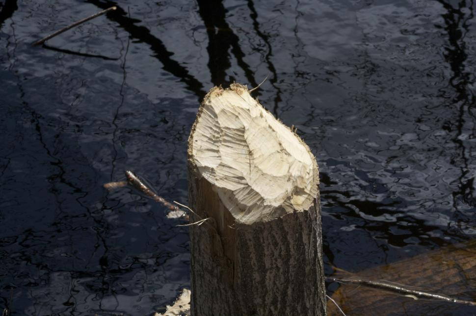 Download Free Stock Photo of Beaver-Chewed Tree