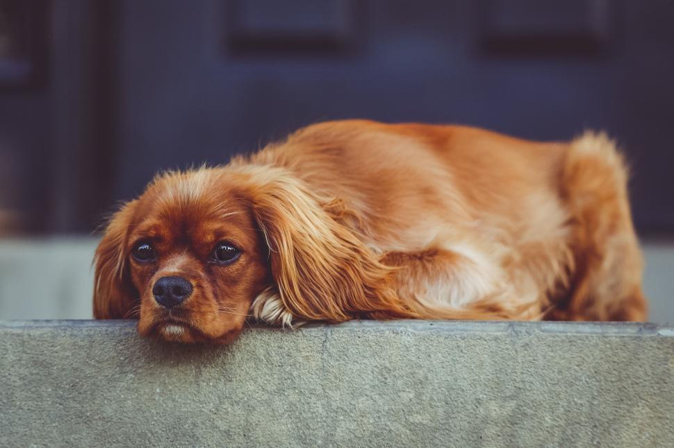 Download Free Stock Photo of cocker spaniel spaniel sporting dog hunting dog dog blenheim spaniel irish setter english toy spaniel setter sussex spaniel toy spaniel