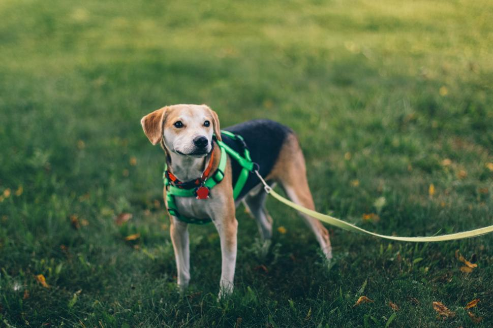 Download Free Stock Photo of hunting dog hound dog foxhound walker hound canine rhodesian ridgeback domestic animal saluki animal redbone english foxhound