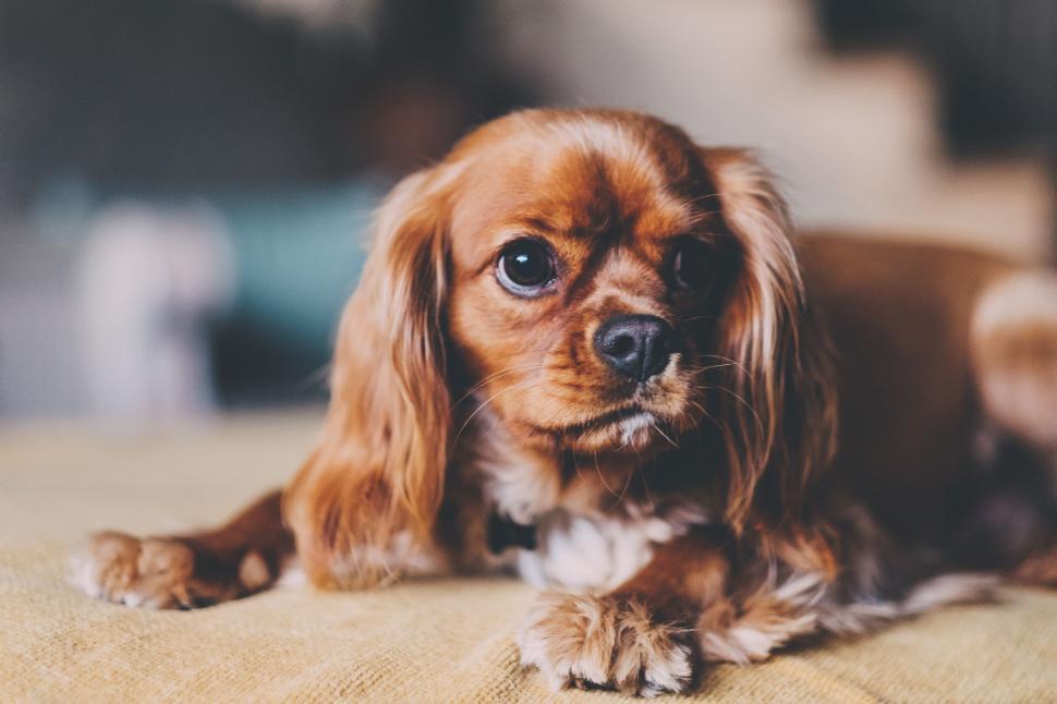 Download Free Stock Photo of sporting dog spaniel irish setter hunting dog setter cocker spaniel dog sussex spaniel
