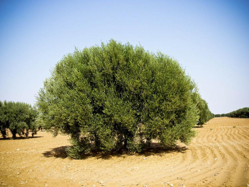 Download Free Stock HD Photo of Olive Tree in the Desert Online