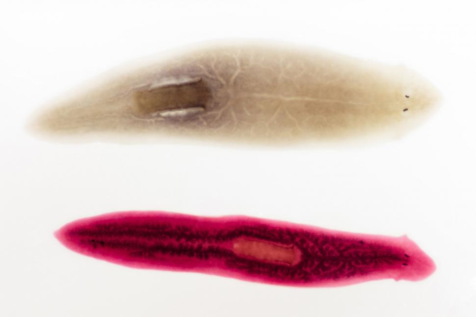 Download Free Stock Photo of planaria