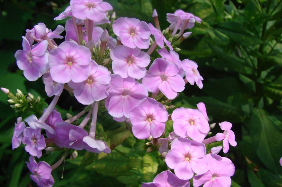 Download Free Stock Photo of Pink Phlox