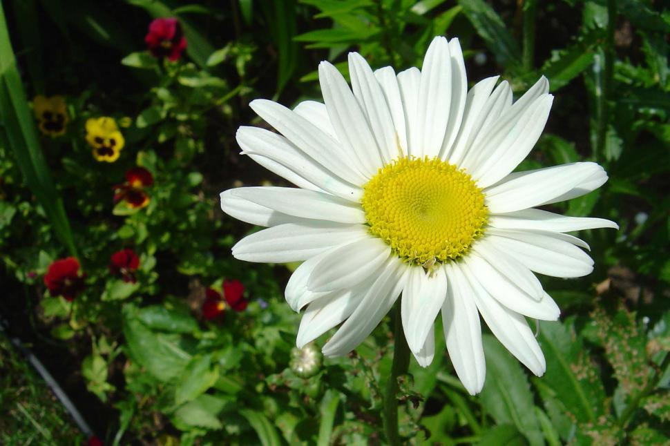 Download Free Stock Photo of White Daisy