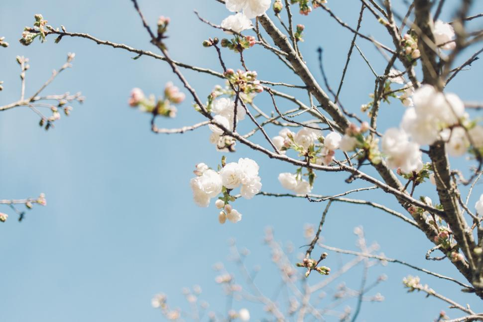 Download Free Stock Photo of branchlet branch plant tree leaf almond spring season sky leaves natural