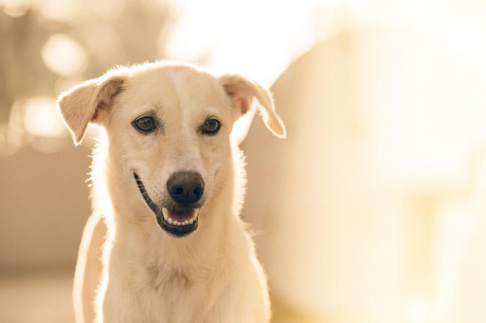 Download Free Stock Photo of retriever dog pet animal canine puppy cute domestic breed purebred mammal studio