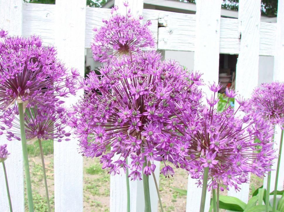 Download Free Stock Photo of Purple Allium