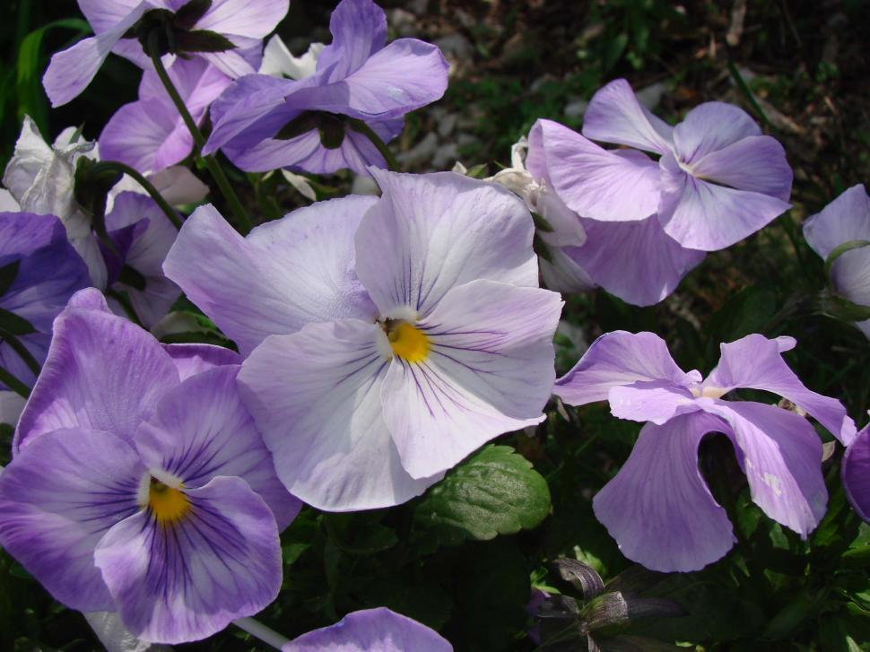Download Free Stock Photo of Purple Pansies