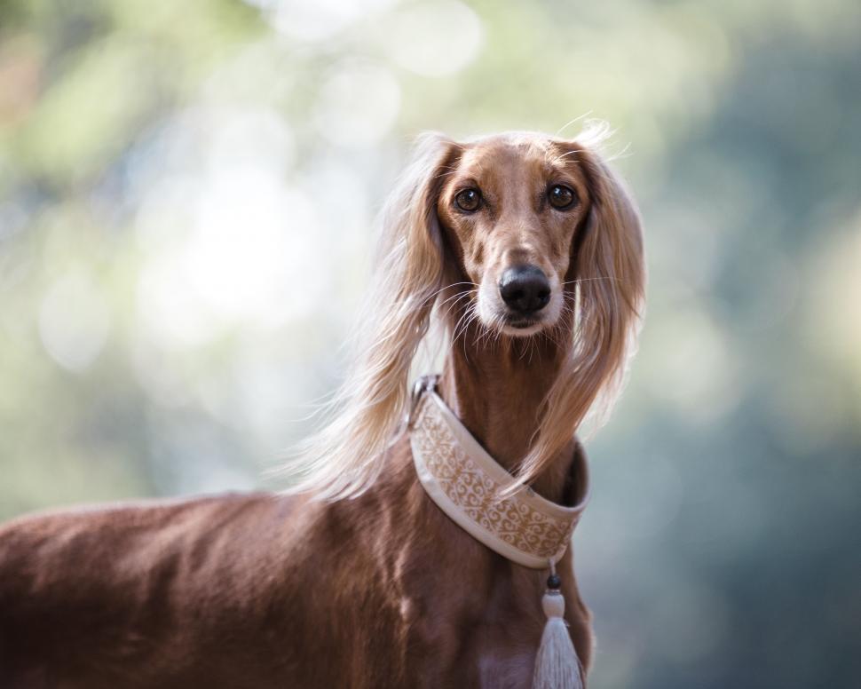Download Free Stock Photo of hunting dog hound saluki dog retriever sporting dog canine animal redbone irish setter golden retriever domestic animal setter
