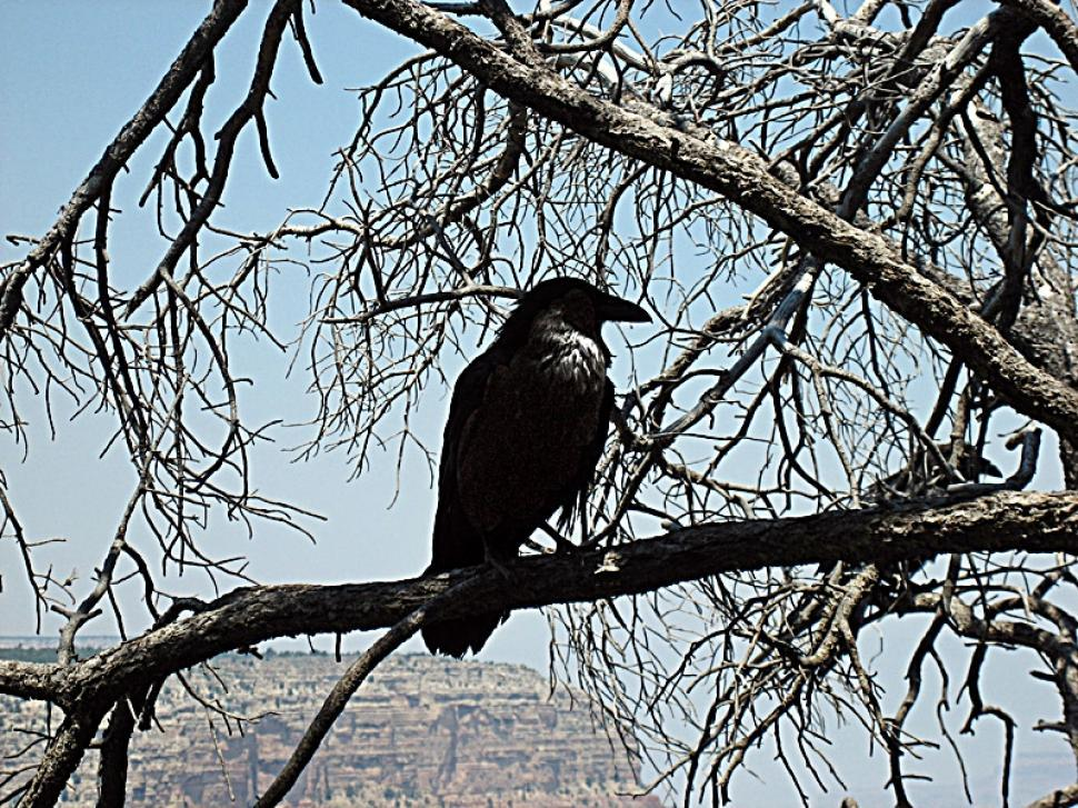 Download Free Stock HD Photo of Black Crow on Dead Tree Online