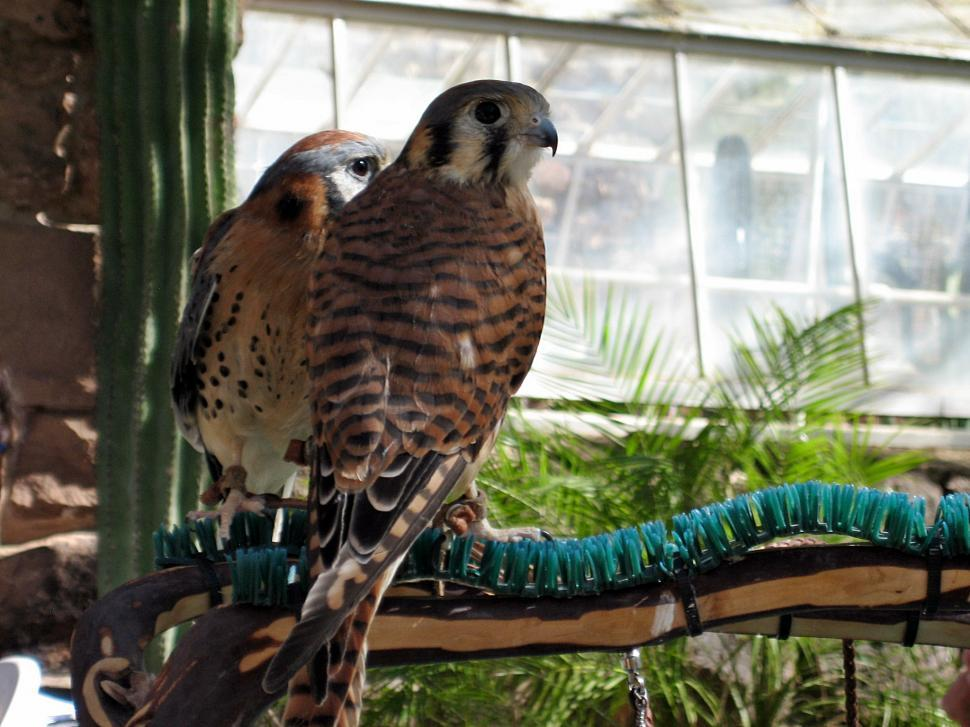 Download Free Stock Photo of Two Kestrels on Branch