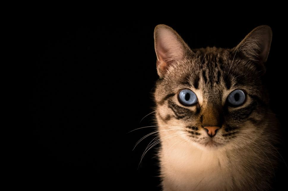 Download Free Stock Photo of cat feline domestic cat animal domestic animal egyptian cat kitten tabby kitty fur pet domestic cute mammal whiskers pets eyes eye furry looking portrait animals face hair look grey