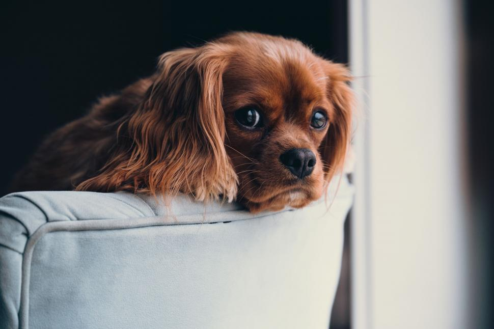 Download Free Stock Photo of blenheim spaniel english toy spaniel spaniel sporting dog cocker spaniel toy spaniel dog hunting dog toy dog irish setter setter