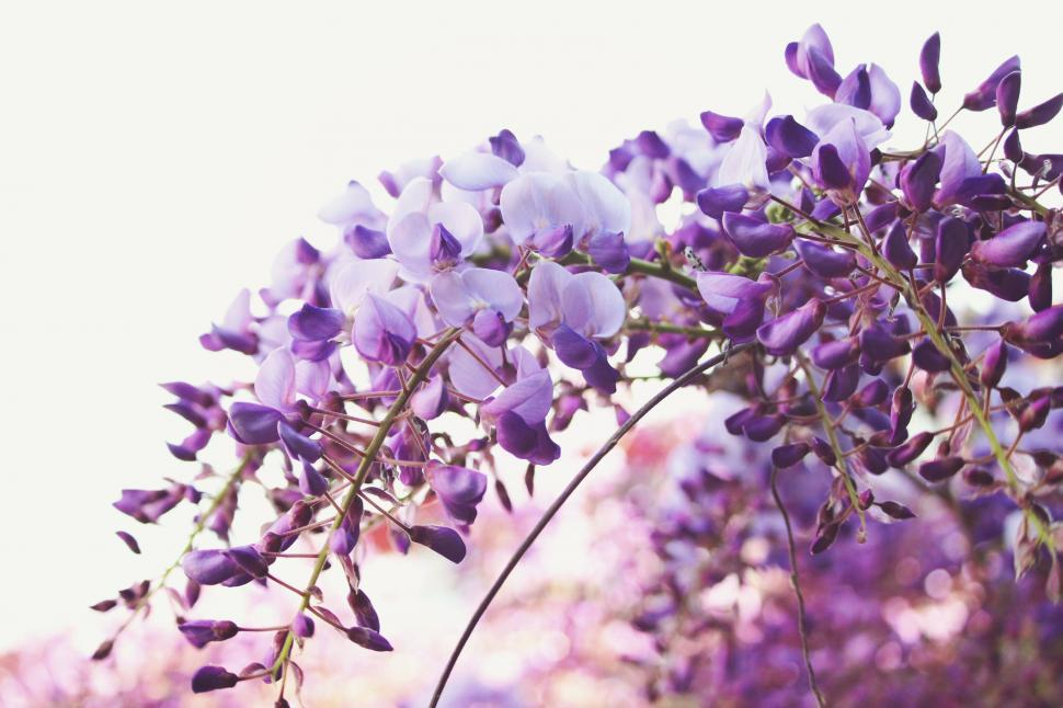 Download Free Stock Photo of lilac purple flower floral plant blossom spring flowers pink garden