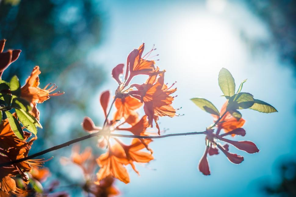Download Free Stock Photo of Nature maple plant leaf autumn leaves season orange fall flower yellow lily tree colorful color