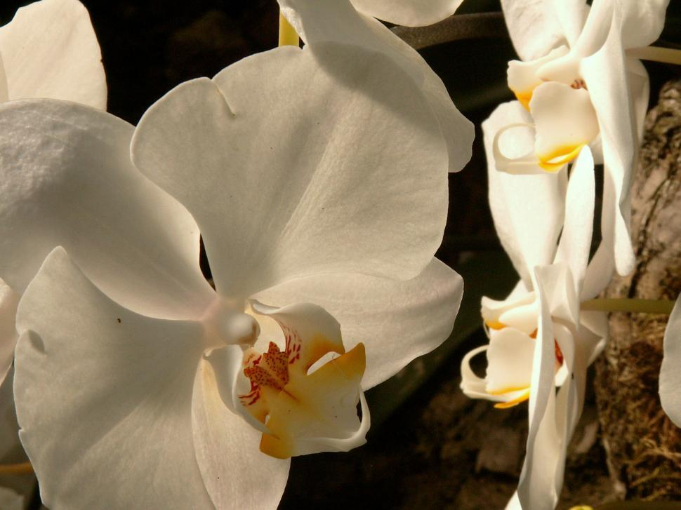 Download Free Stock Photo of Orchid